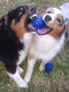 Seven and his friend, a black tri australian shepherd, fight over a ball that has just undergone spring cleaning